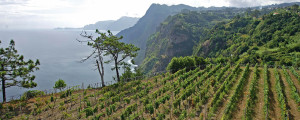 Madeira Vineyard 2