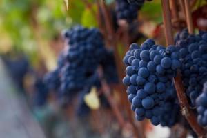 Pinot_Noir