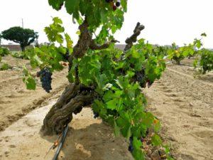 vineyardsoil1