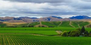 new world vineyard