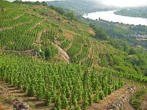 old world vineyard