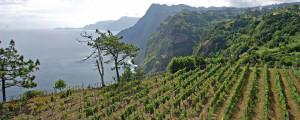 Madeira Vineyard 2