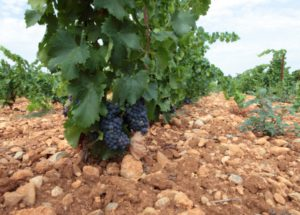Vineyard-Soil
